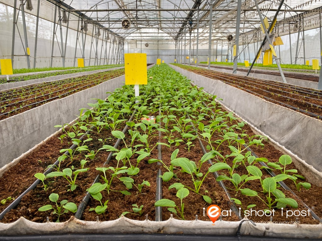 Rows of veggies growing under optimal soil and environmental conditions