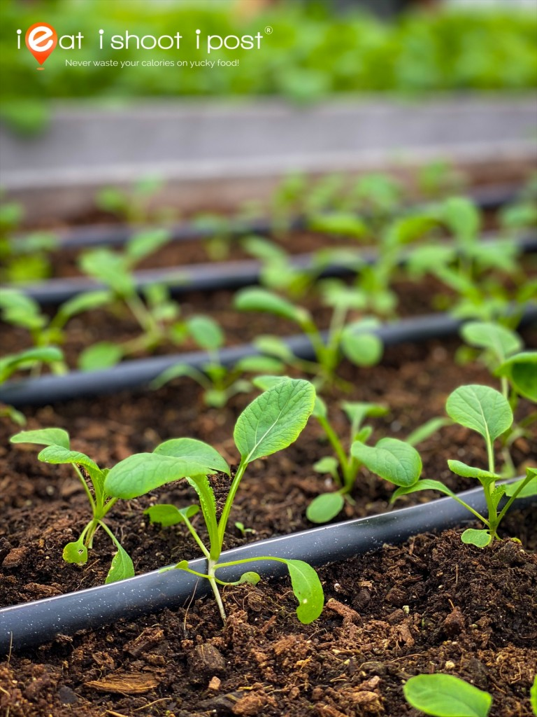 Precision Drip Irrigation ensures every seedling gives the same correct amount of water needed